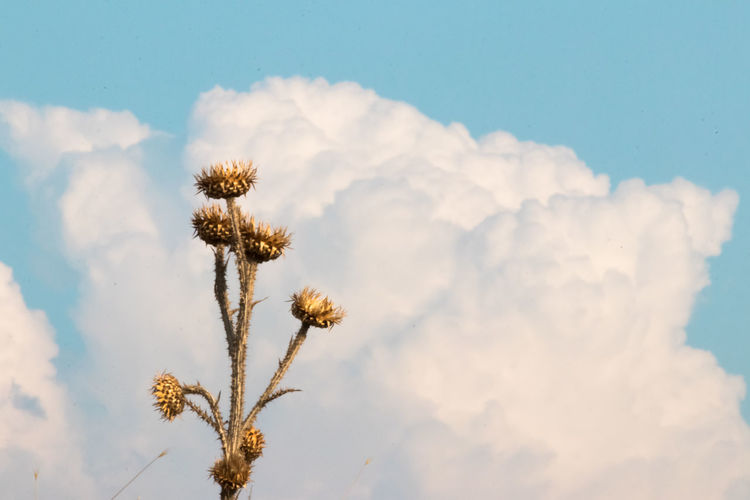 Close-up of wilted thistle against cloudy sky