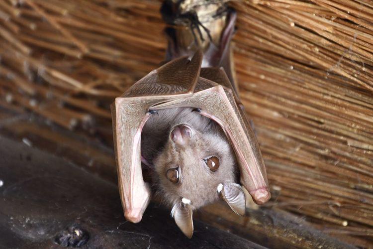 Fruit bat holding its pup in kruger national park.