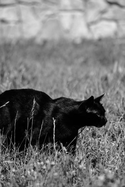 Animal Themes Animals In The Wild Black And White Black And White Cat Black Cat Blackandwhite BLackCat Blurred Background Cat Cat Hunting  Day Domestic Animals Field Focus On Foreground Focused Grass Hunting Huntress Mammal Nature No People One Animal Outdoors Sneaky