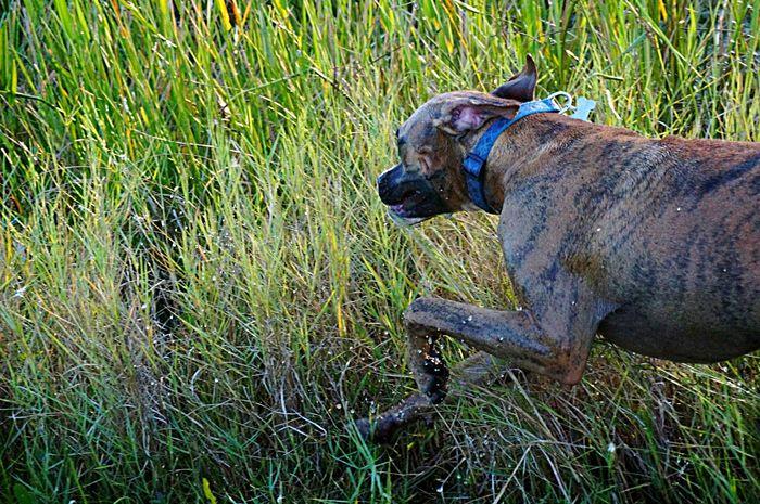 Swamp Photos Tigertheboxer Boxer Dog Runningaway Loving Life! Capturing Freedom Pure Bliss Dogs EyeEm At The Swamp!  Hunting Photo The Great Outdoors - 2016 EyeEm Awards