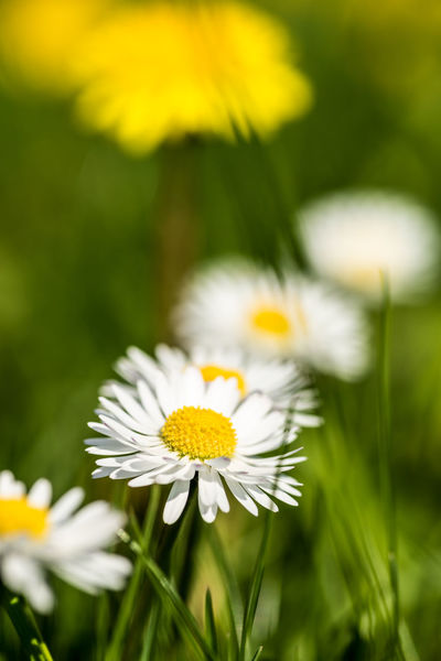 EyeEm Gallery EyeEm Nature Lover Bokeh Essen City Ruhrgebiet Ruhrpott Ruhrpottromantik Green Nikon D750 Beauty In Nature Close-up Flower Flower Head Flowering Plant Focus On Foreground Freshness Inflorescence Nature Outdoors Pollen Selective Focus Softness Springtime White Color Yellow In Bloom The Great Outdoors - 2018 EyeEm Awards Blooming Poppy