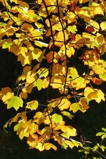Close-up of yellow maple leaves against lake