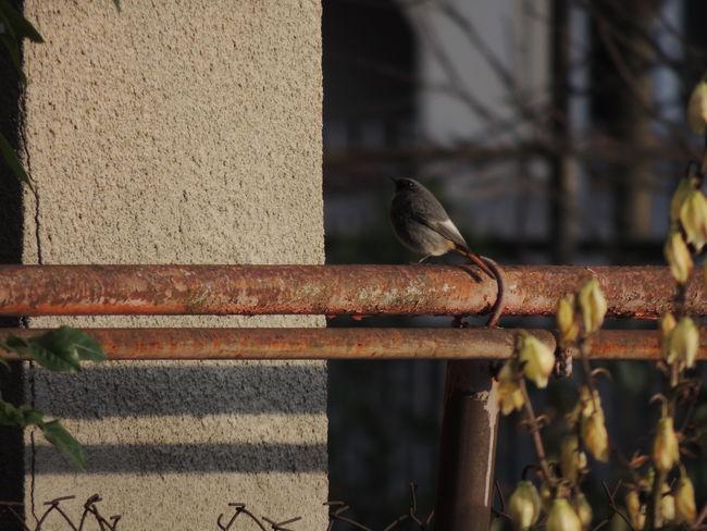 Black Redstart (Phoenicurus ochruros) Animal Themes Animal Wildlife Animals In The Wild Bird Black Redstart Black Redstart (Phoenicurus Ochruros) Day Nature No People One Animal Outdoors Perching Phoenicurus Ochruros Sparrow