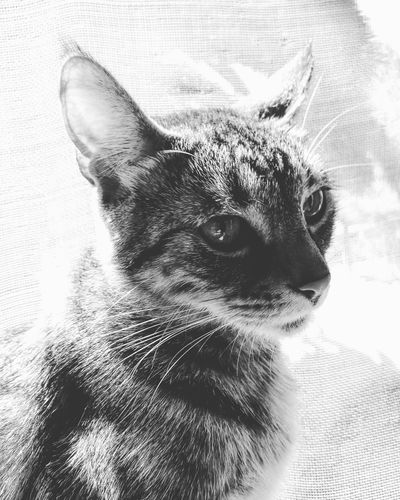 Pets Animal Themes Domestic Animals Close-up Indoors  One Animal Portrait No People Mammal Day Relaxing Love To Take Photos ❤ Blackandwhite Photography B&w Photography Freshness Fragility EyeEm Best Shots Photo Edit Focus Cats 🐱 Cat♡ I Love Cats❤️😻 Tanu The Week On EyeEm Pet Portraits