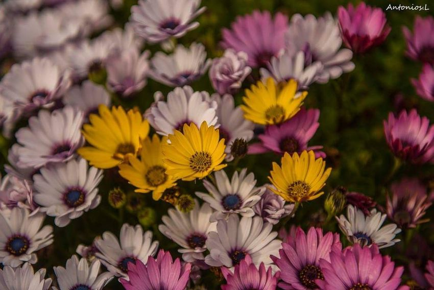 Flower Flower Purple Multi Colored Plant Yellow Botany Pink Color