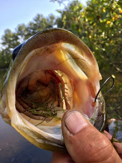 Close-up Bass Mouth Outdoors Fishing Hooked On Fishing