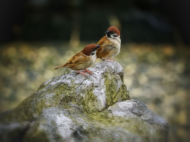 Two Animals Animal Wildlife Animals In The Wild Animal Themes No People Bird Close-up Perching Eye Em Nature Lover EyeEm Gallery Master Class EyeEm Best Shots - Nature Beauty In Nature Bokeh Nature Good Friends Happy Life✌️😊 Good Friend Of Mine Mood Captures Sparrows Sparrow Bird Sparrow Perching Bokeh Background