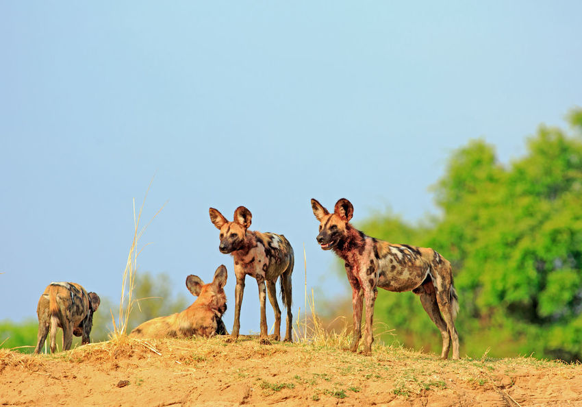 Wild Dogs (Painted Dogs) on a sandbank looking alert with a bright blue sky and vibrant green bush in South Luangwa Wild Dogs Wildlife & Nature Wildlife Photography Africa Animal Themes Animal Wildlife Animals In The Wild Clear Sky Day Mammal Nature No People Outdoors Safari Safari Animals Sky Standing Tree