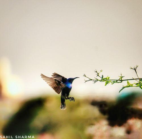 humming bird Fast Shutter Speed Humming Bird Flying 🐦birds Love Perfect Moment Fast Spread Wings Flying Mid-air Motion Full Length Animal Themes Sky