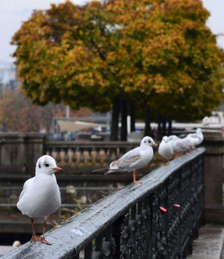 Seagulls resting on a railing at the Bürkliplatz at the border of the lake of Zürich. Bird Bürkliplatz Focus On Foreground Group Of Birds Lake Of Zurich Nature Outdoors Promenade Railing Seagulls Tree The Great Outdoors - 2017 EyeEm Awards