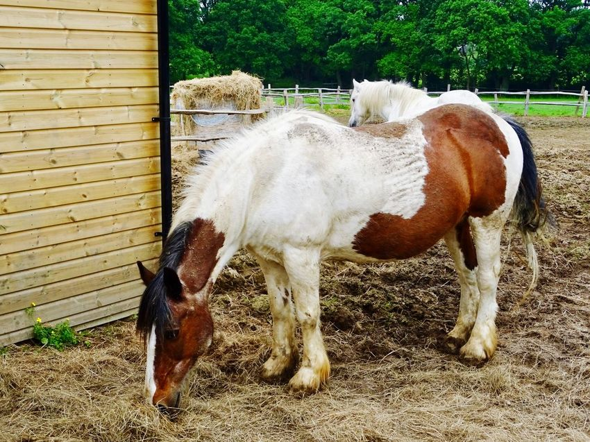 Hay Animal Themes Domestic Domestic Animals Animal Mammal Pets Livestock Horse No People Day Nature Standing Animal Wildlife Ranch Outdoors Field