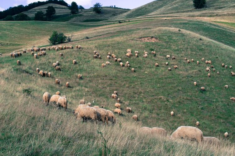 Flock Of Sheep Grazing On Grassy Mountain
