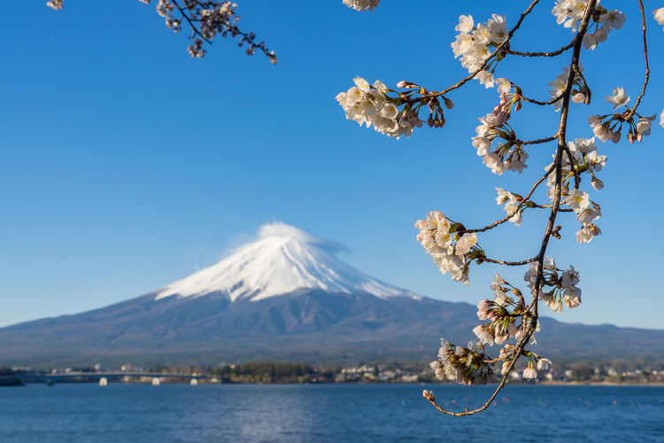 Fuji Mountain Fuji Mountain Area Fuji Mt. Sakura Beauty In Nature Blue Branch Cherry Blossom Clear Sky Day Flower Flowering Plant Mountain Nature No People Non-urban Scene Outdoors Plant Scenics - Nature Sky Snowcapped Mountain Springtime Tranquil Scene Tranquility Tree Water