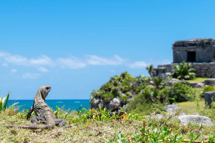 Lizard On Field Against Blue Sky