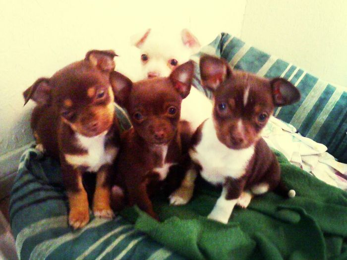 got to see how trained my friend has her chihuahuas. Dogs Cute Puppies