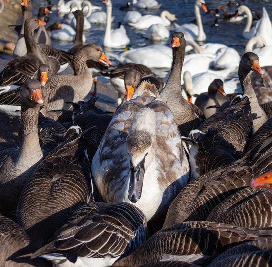 Group Of Animals Water Bird Greylag Goose Flock Of Birds Goose Bird No People Lake Swan Large Group Of Animals Swans Geese