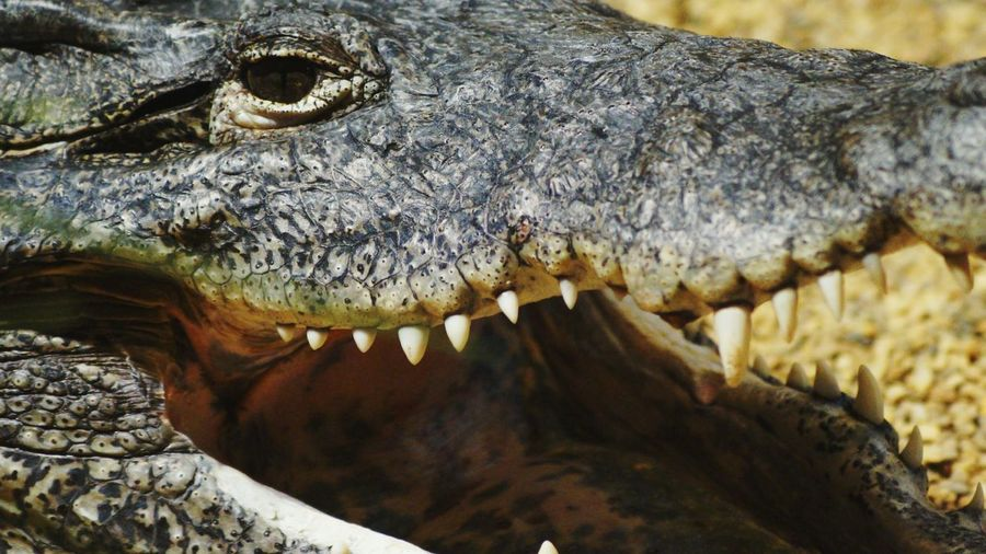 Close-Up Of Crocodile With Mouth Open