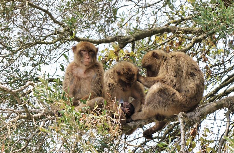 Animal Family Animal Themes Animal Wildlife Animals In The Wild Ape Family Apes Apes In Tree Barbary Barbary Ape Barbary Macaques Branch Gibraltar Gibraltar Apes Low Angle View Mammal Monkey Monkey Family Monkey Group Monkeys In Trees Nature Outdoors Togetherness Tree Wildlife Young Animal