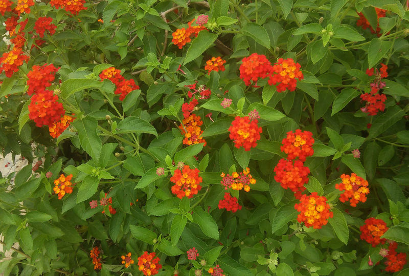 Beauty In Nature Blooming Day Flower Flower Head Fragility Freshness Green Color Growth Lantana Camara Leaf Nature No People Outdoors Park - Man Made Space Petal Plant Zinnia