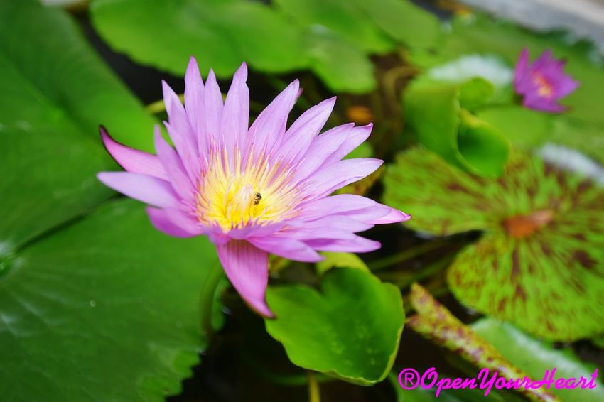 Water Lily Pink Color Waterlily 🌷 No People Waterlilypond Fragility Waterlilyphotography Growth Beauty In Nature 3XSPUnity 3XSPhotographiUnity 3XSPhotography Travelling Thailand Marco High Angle View Blossom Freshness Flower Head Leaf Plant Petal Multi Colored Tranquility Nature Water