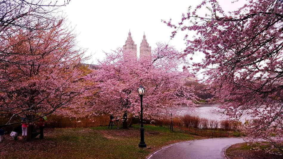 Cloudy in Central Park. Tree Nature Outdoors Growth Beauty In Nature Day Sky No People Grass New York City Samsung Galaxy S6 Samsung Photography Samsung Galaxy S6 EdgeCentral Park - NYC Central Park New York City