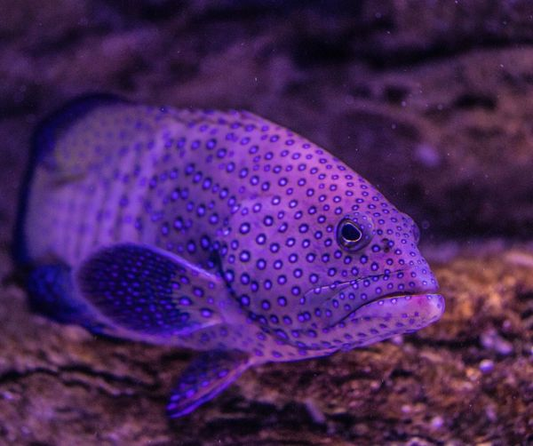 Angry fishy Purple Sea Life One Animal Underwater Animal Themes Close-up No People Swimming Nature Animal Wildlife Sea Water UnderSea Multi Colored Outdoors Beauty In Nature Day Animals In The Wild