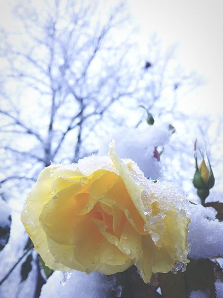 Frozen Snow Roses Yellow Rose Yellow Winter Tree Winter Is Coming