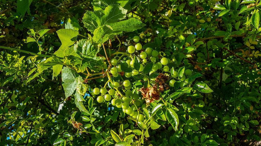 Sonne und Trauben. Trauben Sky Green Trauben Leaf Tree Fruit Green Color Close-up Leaves Cloud