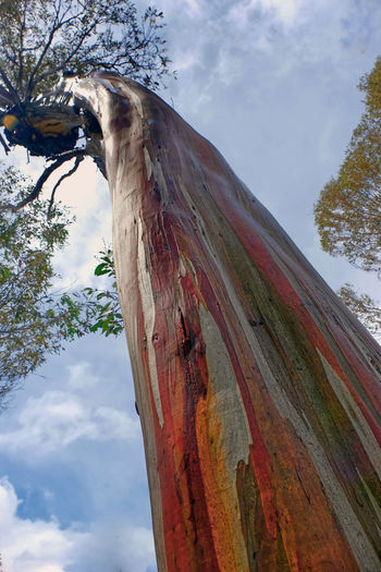 Tasmania Australia Snow Gum Eucalyptus Coccifera Colourful Tree Plant Tree Trunk Low Angle View Nature Growth Focus On Foreground No People Close-up Wood - Material Weathered Bark Colored Stripes