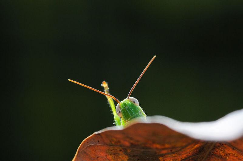 Close-up of grasshoper raised hans on the leaf