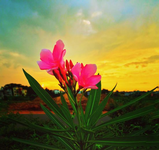 The Beautiful Oleanders Oleander Oleander Flowers Flower Flowers Flowers,Plants & Garden Flowers, Nature And Beauty Flower Photography Flower Collection Beauty In Nature Petal Nature Fragility Freshness Blooming Pink Color Sunset Outdoors IPhoneography Iphonephotography
