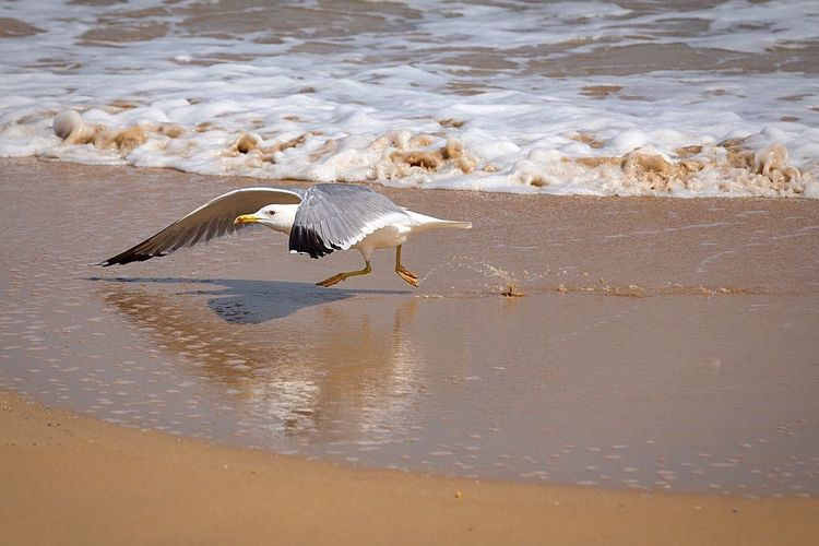 Bird Photography Take Off Bird One Animal Animals In The Wild Water Sand Sea Gull Seashore Sea Scape Visit Oman Beach Life