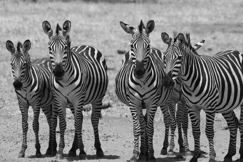 EyeEmNewHere Tanzania Tarangire African Safari Animal Wildlife Animals In The Wild Beauty In Nature Blackandwhite Photography Day Nature No People Outdoors Safari Safari Animals Striped Tarangire National Park Togetherness Wilderness Area Zebra