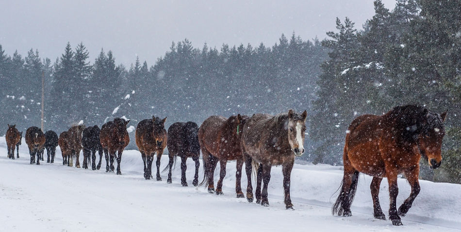 Horse Photography  Horse Riding Animal Themes Bulgaria Cold Temperature Day Horse Outdoors Snow Snowing Sony A5100 Winter first eyeem photo Mountain Village Road Village Roads Nature Tree Weather Domestic Animals Growth Beauty In Nature Mammal Field Scenics Landscape No People Sky