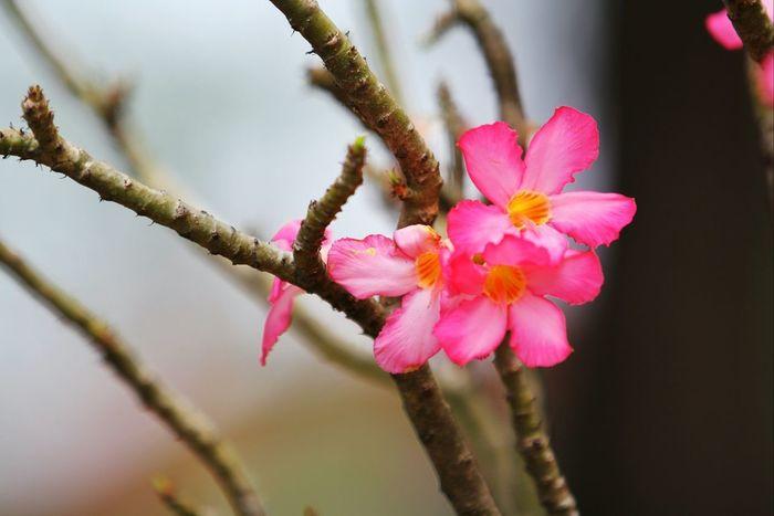 Flowers Desertrose