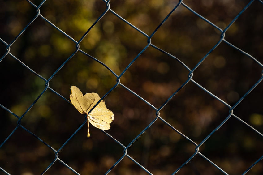 Fence Boundary Protection Security Barrier Safety Metal Chainlink Fence Focus On Foreground No People Plant Part Leaf Nature Day Close-up Autumn Change Pattern Outdoors Dry Leaves Maple Leaf