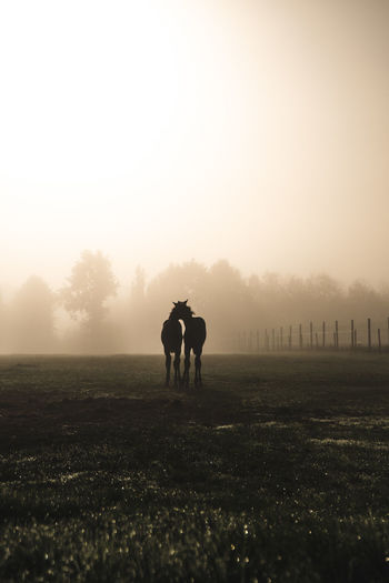 Mammal Animal Animal Themes Livestock Land Field Vertebrate Grass Nature Herbivorous Outdoors Horse Horses Dusk Sunrise Early Morning Beautiful Copy Space Sillhouette Field Majestic Lens Flare Fog Foggy Morning Light Fieldscape Natural Rural Rural Scene Countryside