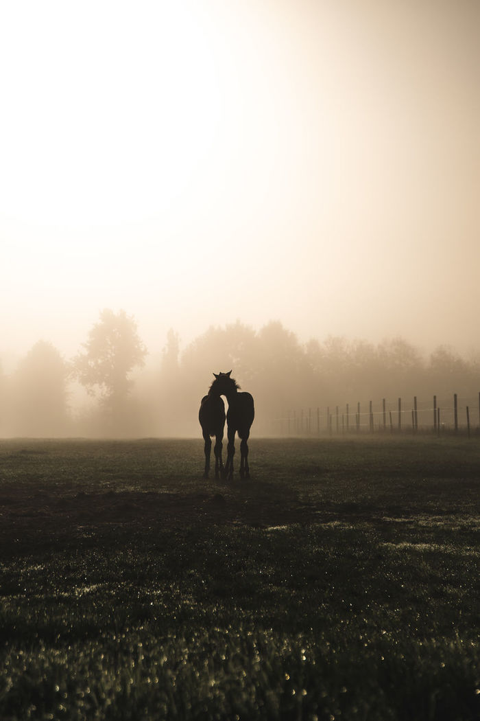 Silhouette horses standing on grassy field against sky during sunset