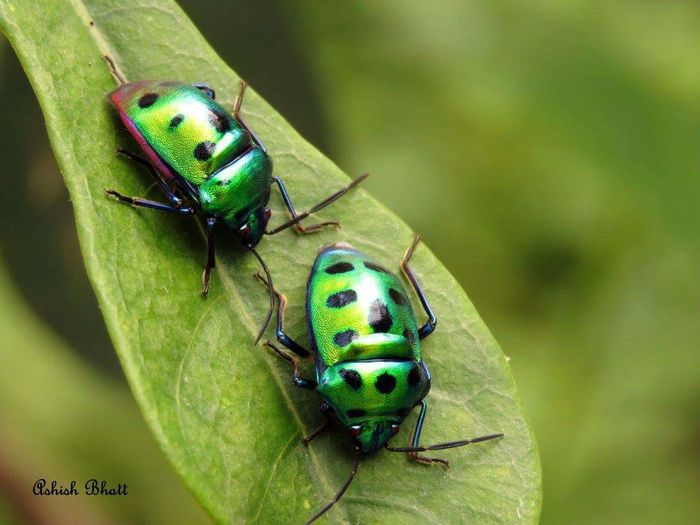 green Jewel Bug Greenjewelbug Jewelbugs Leaf Insect Togetherness Animal Themes Close-up Green Color