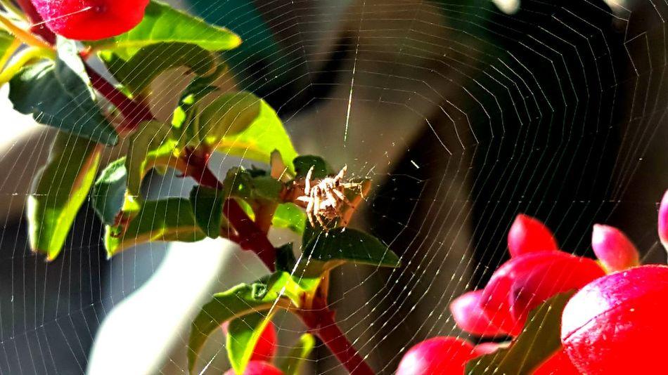Spiderweb Spider My Balcony Garden Nature_collection EyeEm Nature Lover EyeEm Best Shots - Nature