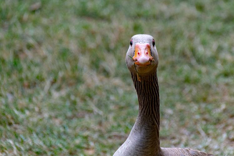 Greylag goose, anser anser, staring at the camera
