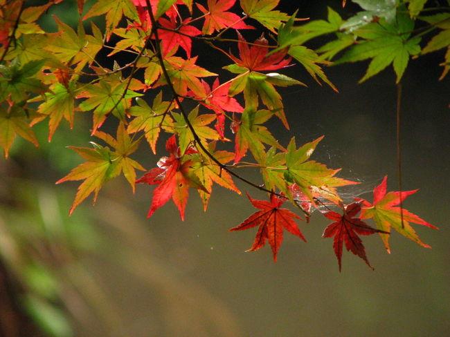 Nature Autamn 紅葉 Japan