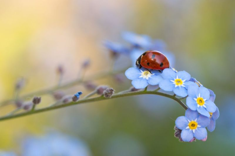 Close-up of ladybug on forget-me-not flowers