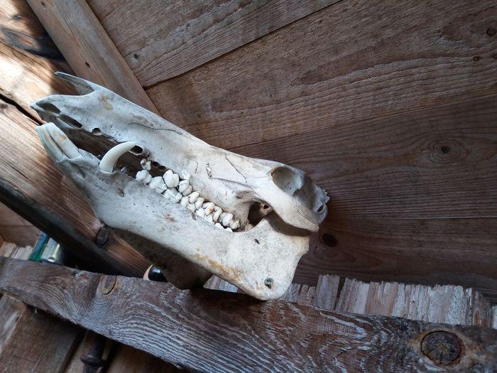 Skellet  Wildschwein Wild Jagt Knochen