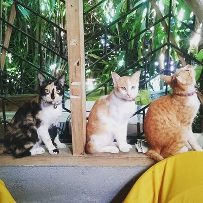 Watcha lookin' at?... they are waiting for someone to come in and feed them up. 👍👌😁😸😹😻 Perrysons 3stooges 2ndsetofsons Brothers FelineDomesticus AmericanBobtailCrossBreed Lokitheexplorer CooperKulit Solstice @instaanimal @insta_animall @miaocatcafe @catsofinstagram @cats_of_instagram @meowbox @connieskittens @myfosterkittens