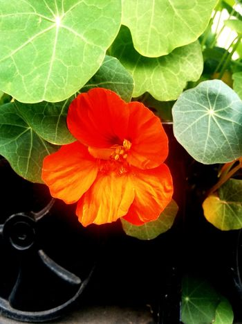 Nasturtium were the First Flowers I ever Planted. Nostalgia in my Hometown. Flower Porn Hometown Love Pacific Northwest
