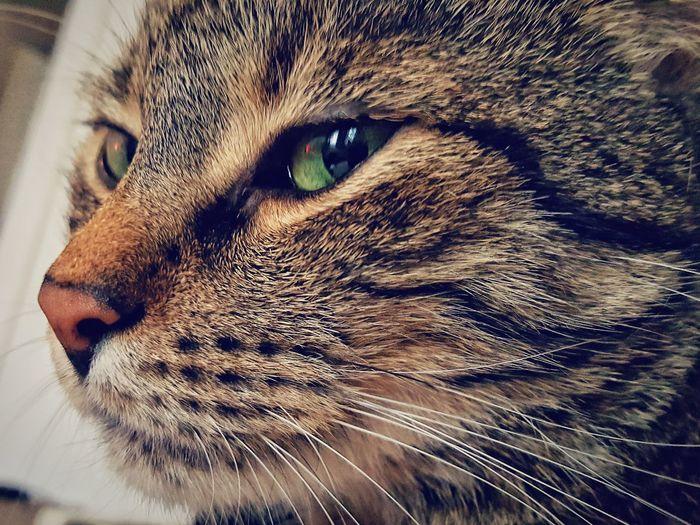 Feline Mammal