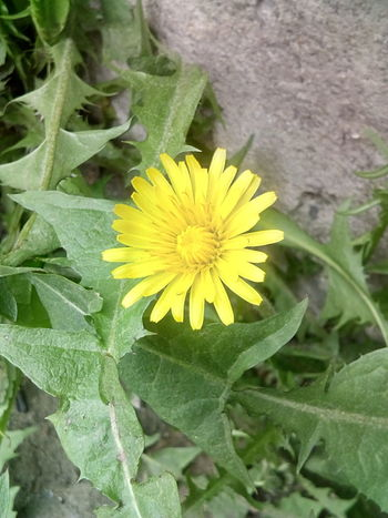 Flower Growth Yellow Freshness Flower Head Close-up Day Green Color No People .