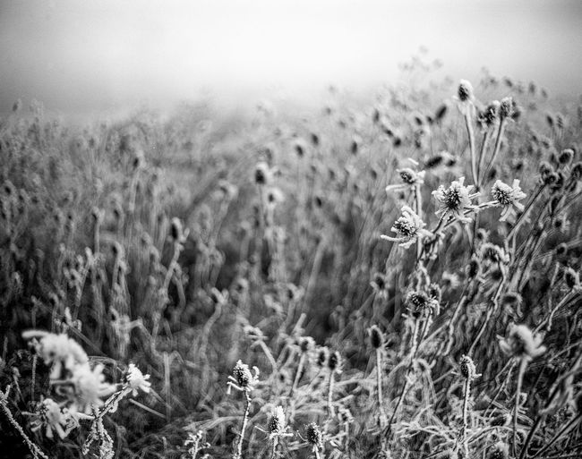 Agriculture Beauty In Nature Close-up Cold Day Field Flower Freshness Frozen Frozen Nature Grass Growth Landscape Nature No People Outdoors Plant Rural Scene Sky Tranquility Uncultivated Wheat Winter