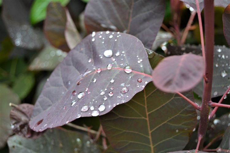 After the Rain - raindrops on plant leaves in the garden. Leaf Plant Part Plant Growth Drop Beauty In Nature Close-up Wet Water Nature Day No People Outdoors Vulnerability  Fragility Focus On Foreground Leaves Rain RainDrop Purity Dew